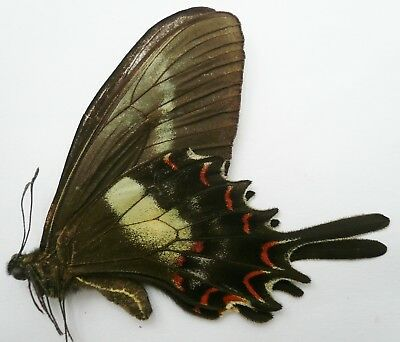 Papilio Hectorides Female From Argentinia