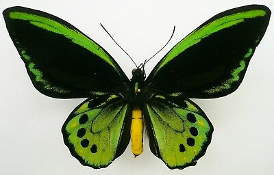 Ornithoptera Richmondia With Goldspots From New South Wales, Australia