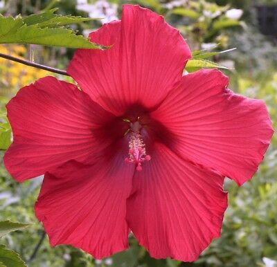 Lord Baltimore Hardy Hibiscus Plant In 45 Pot 1095 Picclick