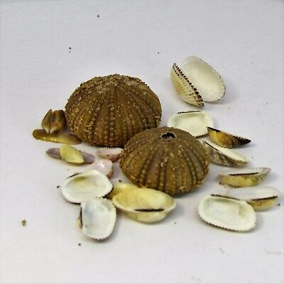 2 pcs sea Urchins with collection of clam and scallop shells