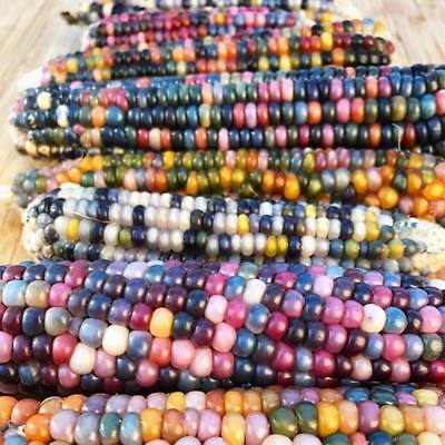 15X GLASS GEM CORN SEEDS Heirloom Rainbow Organic Vegetable Indian Heirloom Rare