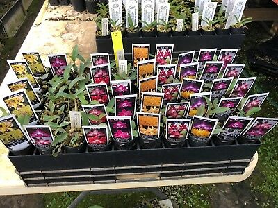 OoN 10 assorted Dendrobium tubes orchids NEW Releases  Pack D