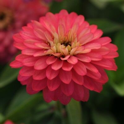 Zinnia - Brilliant Salmon Rose - 20 Seeds