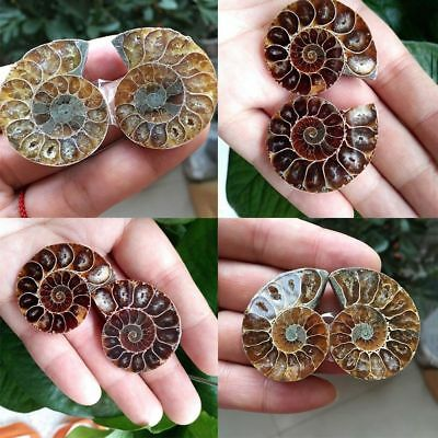 2x Ammonite Similaire polie Fossile Madagascar Cleoniceras Fossil Pierre 25-40mm