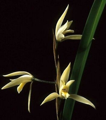 OoN Nidema boothi species orchid  LIMITED ONLY 1 PLANT