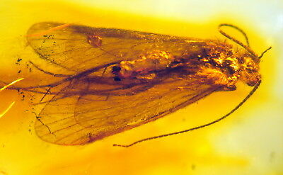 Huge Fossil Insect-Trichoptera-  In Baltic Amber 45-55 Millions Years Old(6173 )