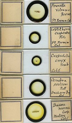 5 California Mollusk Microscope Slides by Fred Tableman (American)