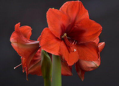 8 graines d' AMARYLLIS ROUGE(Hippeastrum Hybridum Red Lion) K884 SEEDS SEMILLAS