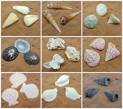Shells Seashells, Beach Shells, Individual Wedding Sea Shells - Choice UK SELLER