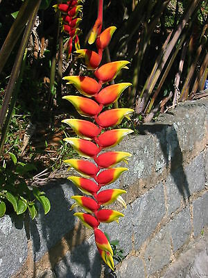 3 graines d' Héliconia Rostré(Heliconia Rostrata)G174 HANGING LOBSTER CLAW SEEDS