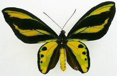 ORNITHOPTERA TITHONUS MISRESIANA MALE FROM ARFAK, IRIAN JAYA (repaired)