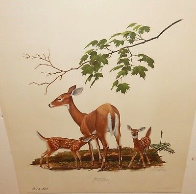 """Ray Harm """"Whitetail Deer"""" Hand Signed Limited Edition Color Lithograph 1970"""