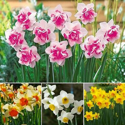 400 Pcs/Bag Double Narcissus Bulbs Pastel Mixed Daffodil Perennial Flower Seeds