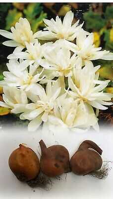 3 Colchicum Alboplenum(Naked Ladies)Bulbs Autumn Flower No Soil Needed Perennial