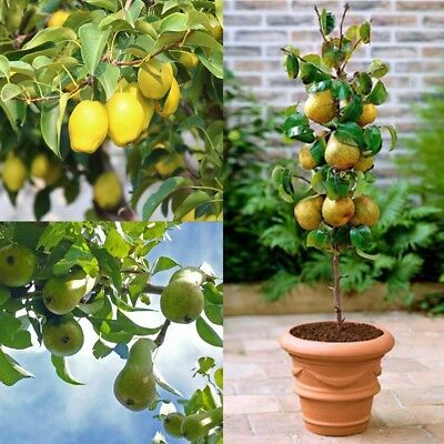 20Pcs Sweet Fruit Pear Seed Indoor Mini Bonsai Tree Easy Grow Home Garden Plants