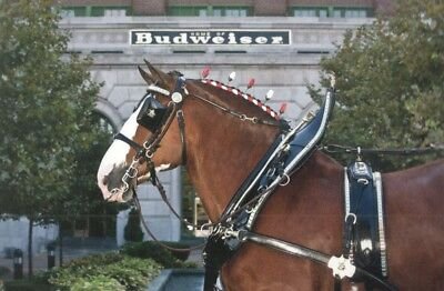 Budweiser Clydesdale Horse Postcard