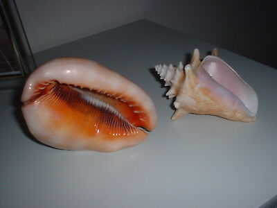 Two Large Vintage Pink Conch Sea Shells