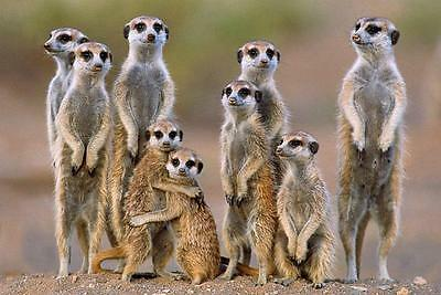 Meerkats : Family - Maxi Poster 91.5cm x 61cm new and sealed
