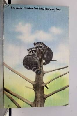 Tennessee TN Raccoon Overton Park Zoo Memphis Postcard Old Vintage Card View PC