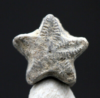 Star Crinoid Fossil Stem Echinoderm Sections Mineral Sea Life Specimen MOROCCO