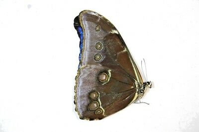 1 Morpho absoloni in A! Condition