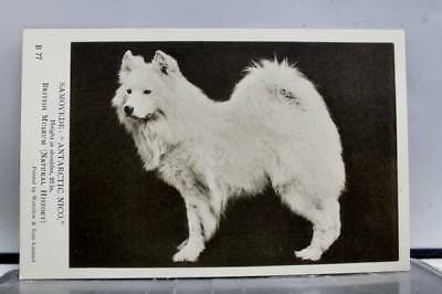 Animal Dog Puppy Samoyede Antarctic Nico Postcard Old Vintage Card View Standard