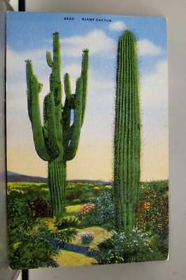 Scenic Giant Cactus Postcard Old Vintage Card View Standard Souvenir Postal Post