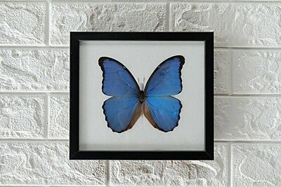 Real Big Didius Blue Morpho Butterfly Taxidermy Framed Insect Home Decoration