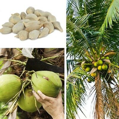 50x Coconut tree Seeds Giant Miracle Fruit Tree High Nutrition Juicy Fruit