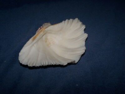 "Giant Ruffled Tridacna Clam Shell Specimen - 9""   Heavy, Thick, and Beautiful"