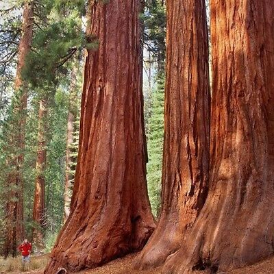 Rare Sequoiadendron Giganteum Giant Fast Sequoia Redwood tree seeds 40 Seeds