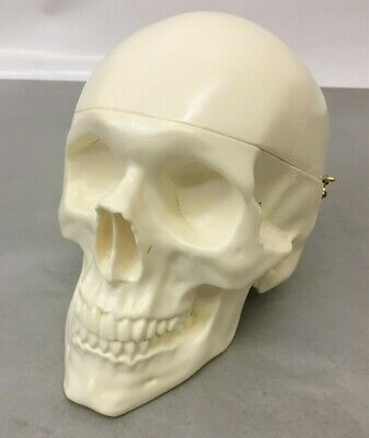 Artisan Neuro Full High Durometer Skull, Removable Skull Cap & Brain, Dura Liner