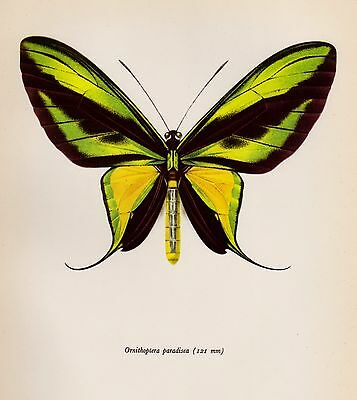 Antique BUTTERFLY Art Print Green & Yellow Paradise Birdwing Insect Print 2880