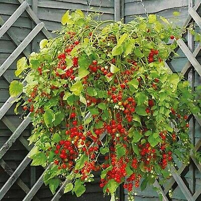 Vegetable Seeds Cherry Tomato Hunderts and Thousands Organically Grown NON-GMO