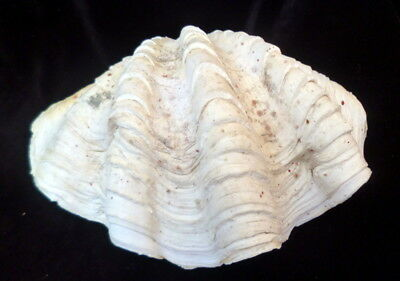 "Large Giant Natural Clam Shell Tridacna Gigas Seashell 12"" x 8 1/2"""