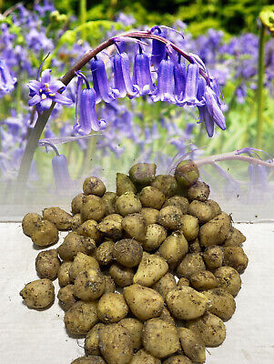 In Stock. 1-1000 English Bluebells Cultivated Bulbs Hyacinthoides Non Scripta