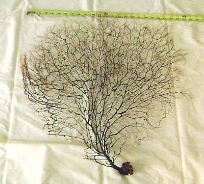Sea Fan Coral,Black and Tan, Great for Beach Decor, Framing, Shadowbox