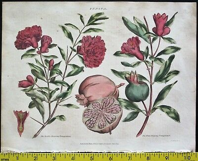 Pomegranate,Fruit and Flower,Green,Universal Herbal,Engr.1816ff