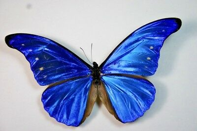 1  Morpho cacica in A- condition