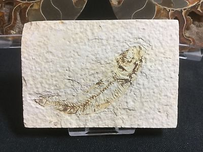 Fossil Fish (Green River Fm) #02 - Wyoming, Eocene, 50 Million Year Old Fossil