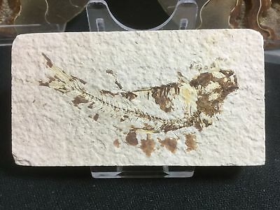 Fossil Fish (Green River Fm) #06 - Wyoming, Eocene, 50 Million Year Old Fossil