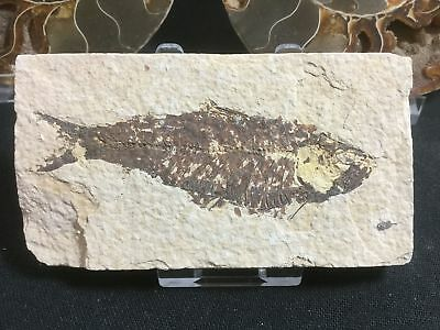 Fossil Fish (Green River Fm) #08 - Wyoming, Eocene, 50 Million Year Old Fossil