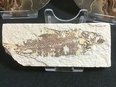 Fossil Fish (Green River Fm) #11 - Wyoming, Eocene, 50 Million Year Old Fossil