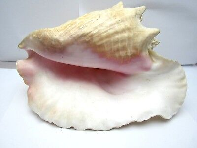 """Vintage Large 11"""" Beautiful Pink Queen Conch Shell Seashell Nautical Beach Decor"""