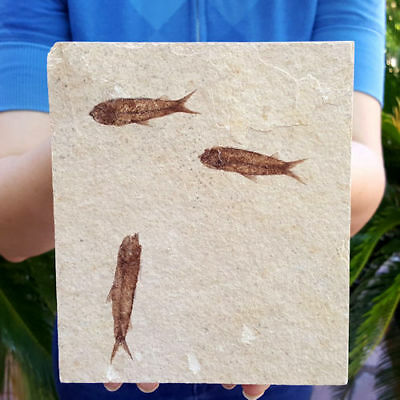 Spectacular 5 7/8 Inch Fifty Million Year Old Multi Fossil Fish Plate Knightia