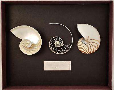 """Nautilus Pompilius Sliced & Chambered In Display Case 7"""""""