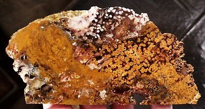 rawk11: Orbicular Petrified Wood Slab-Loaded with Orange, Brown and White Orbs!