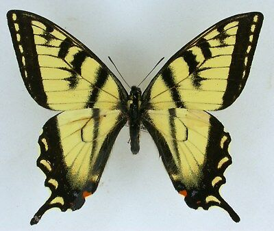Papilio canadensis, male Canada,