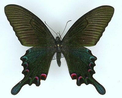 Papilio  bianor, spring form China Sichuan,male