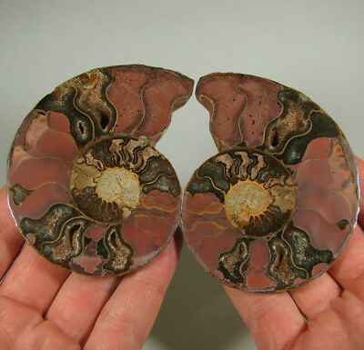 """3.5"""" AMMONITE FOSSIL Split Polished Pair w/ Calcite Chambers - Madagascar"""